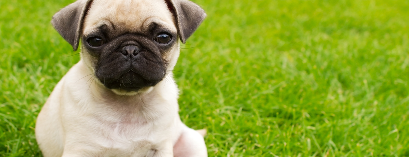 Pug sitting in the grass